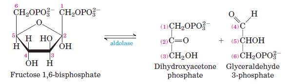 Glycolysis-Step-4